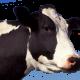 Vache 3